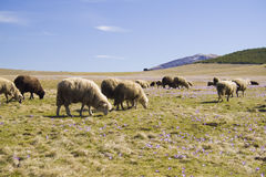 Sheep's graze at mountain. Two sheep's browse the grass in spring at mountain Zlatibor, Serbia Royalty Free Stock Photos