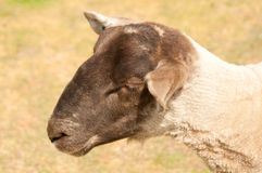 Sheep's Head Royalty Free Stock Image