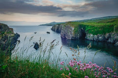 Sheep's Head. West County Cork,Sunrise, cloudy day headland, cliff, wild flowers, Wild Atlantic Way Royalty Free Stock Photography