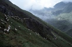 Sheep's line. Sheeps go on the path in the Romanian Carpathian Mountains Royalty Free Stock Photo