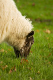Sheep's lunch Royalty Free Stock Photography