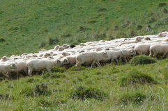 Sheep's migration 2 Royalty Free Stock Photos