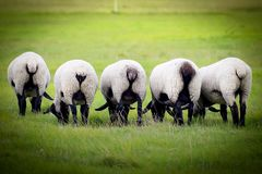 Sheep`s On A Meadow. Sheep`s On Farm Eating Grass. Royalty Free Stock Photos