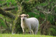 A sheep in front of a forest background stock image