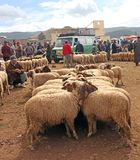 Tuesday Souk In Azrou, Morocco. Sheep For sale at the Berber Souk, the Market place in Azrou, Morocco. A weekly market that takes place on Tuesdays. It sells stock image