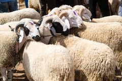 Sheep for sale at an open-air market. Sheep with horns tied together at a weekly-held sheep market in Morocco. This breed is called `Sardi Stock Photo
