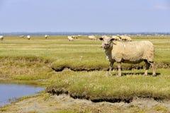 Sheep salt meadows Stock Image