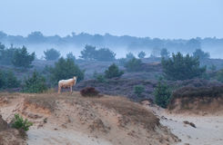 Sheep on sand dune in misty morning Royalty Free Stock Photography