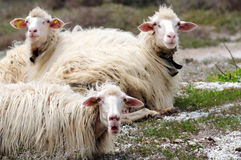 Sheep, Sardinia, Italy Stock Image
