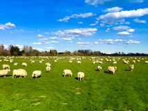 Sheep Scattered on Grass. Sheep livestock on green grass farm field and blue sky royalty free stock photography