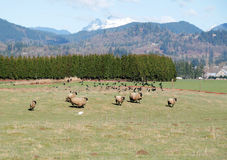Sheep Scattering Royalty Free Stock Photo