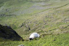 Sheep at a scenic view royalty free stock photo