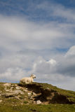 Sheep, Scotland Royalty Free Stock Photos