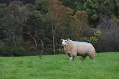Sheep in Scotland Stock Photo