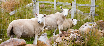 Sheep, Scotland Stock Photo