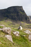 Sheep in Scotland Stock Photography