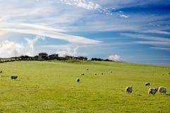 sheep in scotland Royalty Free Stock Photos