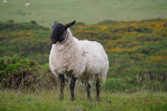 Sheep in Scotland Royalty Free Stock Photography