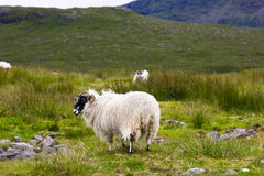 Sheep. Scotland Harris Island blackfaced sheep Stock Image