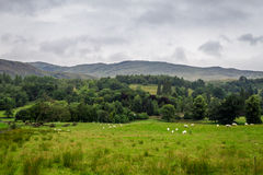 Sheep in Scotland Highlands stock photography