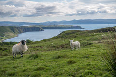 Sheep in Scotland Royalty Free Stock Image