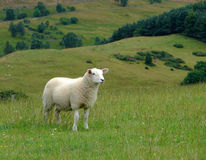 Sheep and Scottish countryside Stock Images