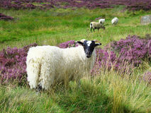 Sheep (Scottish highlands) Stock Photos