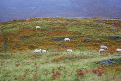 Sheep. In the scottish highlands Stock Photo
