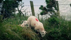 Sheep Scramble Under Fence Into Field. Lots of sheep scrambling under wire fence on windy day stock footage