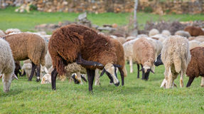 Sheep scratching Royalty Free Stock Images
