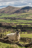 Sheep scratching in the Peak District stock photography