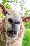 Sheep scream Royalty Free Stock Images