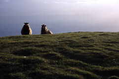Sheep by the sea Stock Photography