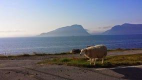 Sheep at sea Stock Photo