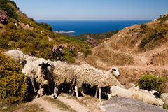 Sheep by the sea coast in Halkidiki Royalty Free Stock Photo