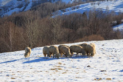 Sheep searching for grass Royalty Free Stock Images