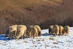 Sheep searching for grass Royalty Free Stock Photography
