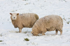 Sheep searching for grass under the snow Stock Photos