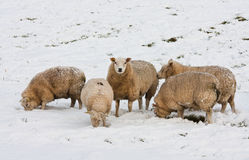 Sheep searching for grass under the snow. Sheep in Dutch wintertime, searching for grass under the snow stock photography