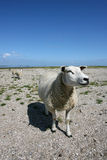 Sheep at the seaside. Sheep walking and grazing at the borders of the wadden sea in Friesland(Holland Royalty Free Stock Photos