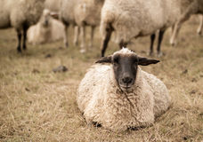 sheep sepia detail Stock Images