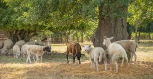 Sheep in the shade Royalty Free Stock Photography