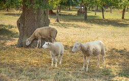 Sheep in the shade Stock Images