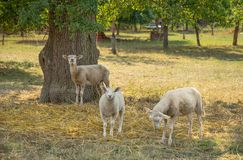 Sheep in the shade. Some sheep in the shade around a tree in rural ambiance stock photo