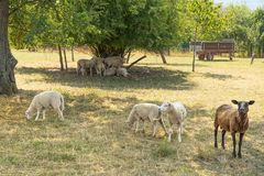 Sheep in the shade Royalty Free Stock Photo