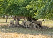 Sheep in the shade Stock Photo