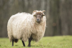 Sheep shaking of fluff Royalty Free Stock Photography