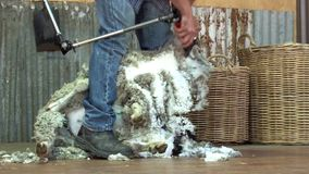 Sheep shearer stock video footage