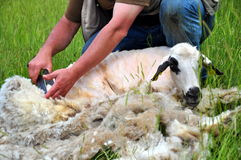 Sheep shearing. A shearer shearing a sheep stock photography