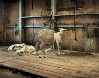 Sheep Shearing. Half shorn sheep in an old rural shearing shed royalty free stock photo